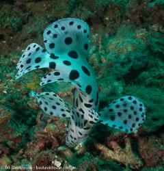BD-090928-Lembeh-9284691-Cromileptes-altivelis-(Valenciennes.-1828)-[Humpback-grouper.-Leopardabborre].jpg